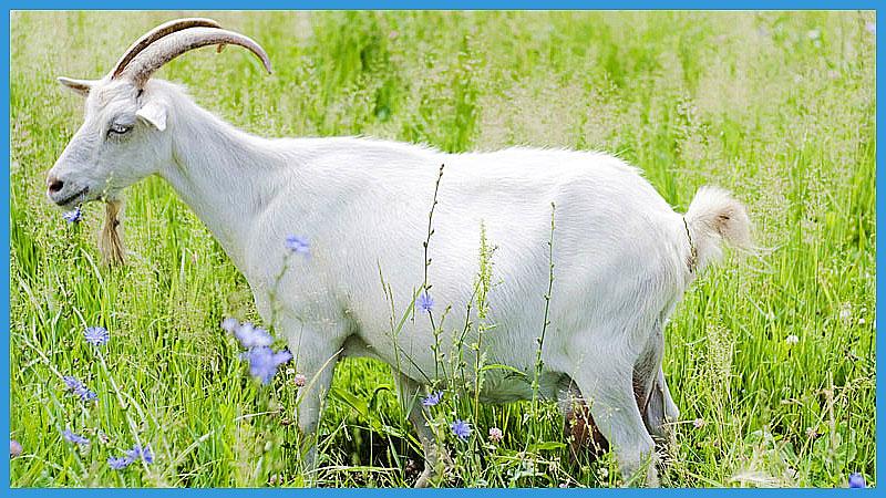 китайский календарь качества козы