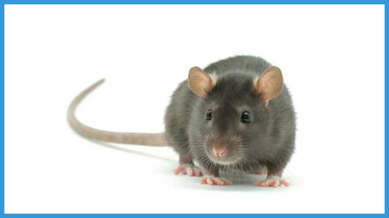 китайский календарь качества крысы