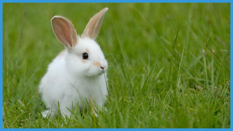 китайский календарь качества кролика